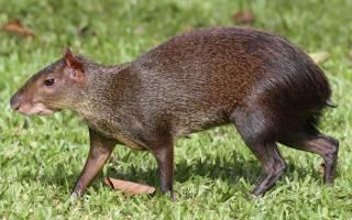 Горбатый заяц (агути): что это за животное и какие разновидности бывают, питание и образ жизни