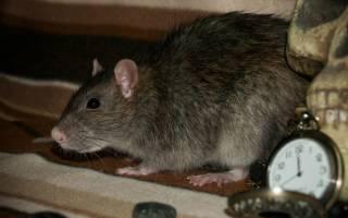 Крыса пасюк: где и как живет, чем питается, плюсы и минусы