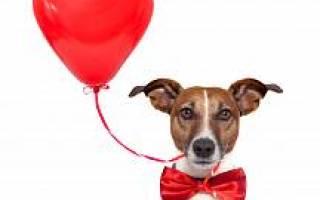 Как делать массаж сердца собаке: первая помощь при остановке дыхания, симптомы и лечение сердечной недостаточности