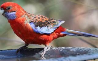 Попугай розелла: содержание в неволе и стоимость, описание, уход