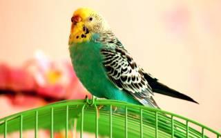 Как научить попугая говорить: 6 самых разговорчивых пород