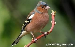 Обыкновенный зяблик: описание и характеристика птицы, чем питается и как выглядит