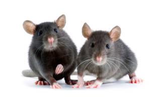 Домашняя крыса: содержание, как мыть, что едят и чем можно кормить, как назвать, сколько живут, как ухаживать