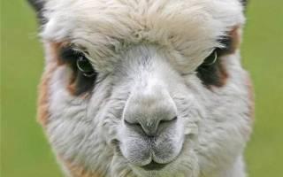 Альпака: описание и характеристика животного, где обитает и какой ценностью обладает