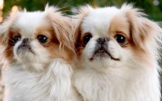 Японский хин: описание породы собак, характер и стоимость