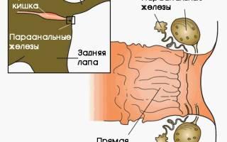 Параанальные железы кошек: причины воспаления и лечение, чистка в домашних условиях