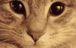 Выделения у кошки: белые, гнойные и кровянистые, что считается нормой и когда нужно обратиться к ветеринару
