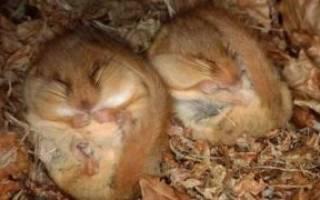 Впадают ли хомяки в спячку: что делать при оцепенении