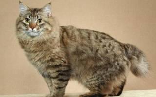 Кошка американский бобтейл: описание породы, содержание и уход, здоровье, цена