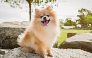 8 разновидностей породы собак шпиц: фото, описание и характеристика, стоимость каждой из собак