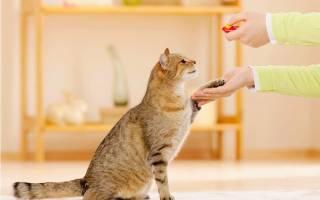 Как дрессировать кота в домашних условиях: дай лапу, ко мне, сидеть, лежать и другие компанды