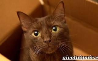 Кошка гавана браун: описание породы, содержание и уход