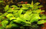 Анубиас нана: описание и содержание в аквариуме