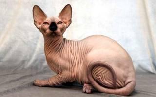 5 пород кошек, которые не линяют и не пахнут: сфинкс, канадский сфинкс, петерболд, девон-рекс, корниш-рекс
