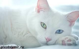 Тайская кошка као мани: описание и характеристики породы