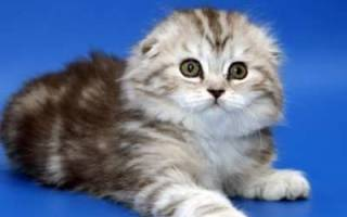 Хайленд фолд (шотландская вислоухая длинношерстная): описание породы кошек, содержание и уход