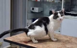 Мочекаменная болезнь у котов: симптомы и лечение в домашних условиях, профилактика