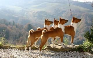 10 самых популярных пород собак среднего размера: название и описание, характер и стоимость