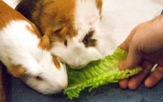 Что едят морские свинки: чем можно кормить, как ухаживать, как можно назвать