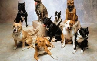 14 лучших пород бойцовых собак: фото, описание и характеристики, стоимость щенка