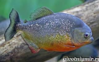4 вида пираньи: где водятся, чем питаются, содержание в аквариуме