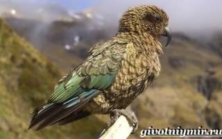 Хищный попугай Кеа: описание, где обитает, как охотится на овец