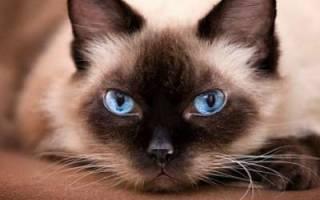 Сиамская кошка: описание породы и характера, родина, виды