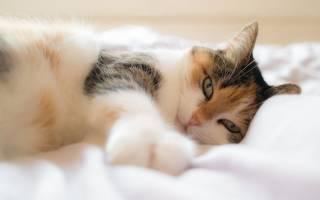 Вазелиновое масло для кошек при запоре: инструкция по применению, как давать
