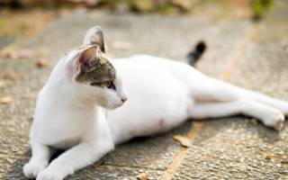 Кот или кошка тяжело дышит животом: не ест и не встаёт, что это значит