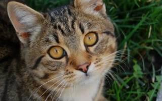 Аденома или выпадение третьего веко у котов и кошек: как лечить в домашних условиях