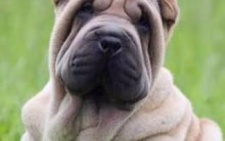 Шарпей: описание породы и характер, стоимость щенков, окрасы, фото