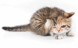 Дерматофитоз у кошек и собак: причины, симптомы и лечение