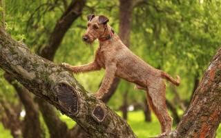 Ирландский терьер: описание породы и характеристика, содержание и уход за собакой