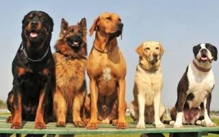 39 самых популярных и известных пород собак в мире