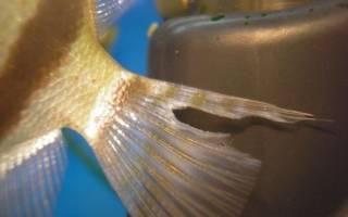 6 способов лечения плавниковой гнили в общем аквариуме: у гуппи, скалярий и других рыбок