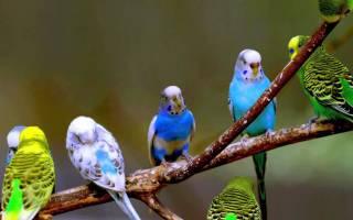 Волнистые попугайчики: уход в домашних условиях, содержание, чем кормить, сколько живут