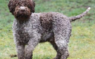 Лаготто романьоло (итальянская водяная собака): описание и характеристика, содержание и уход