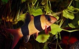 Рыбка боция клоун: содержание, совместимость с другими аквариумными рыбками