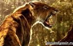 Саблезубый тигр или смилодон: описание, когда жили и прямые потомки