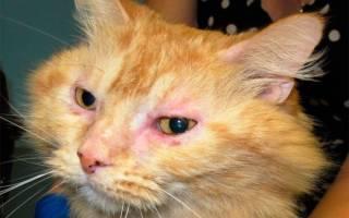 Конъюнктивит у кошек: чем и как вылечить у котов, кошек и котят в домашних условиях