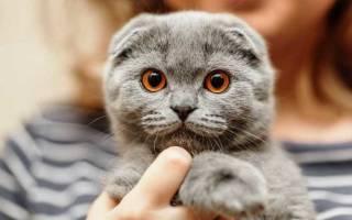 Вислоухий британец: описание породы, характера, повадок и окраса кошки