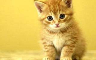 Пупочная грыжа у котенка и кошки: симптомы и лечение в домашних условиях
