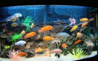 Аквариумные цихлиды: виды, содержание, с кем уживаются в аквариуме