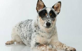 Австралийский хилер или австралийская пастушья собака или кеттл дог: описание породы и характеристика, содержание и уход за собакой
