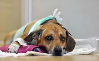 Простуда у собак: учащенное дыхание, собака часто дышит с открытым ртом и трясется, насморк, сопли