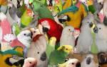 9 самых больших попугаев в мире: как называется один из крупнейших попугаев, описание и стоимость, особенности разведения