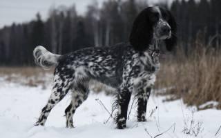 Русский охотничий спаниель: характеристика и описание породы, стоимость щенков