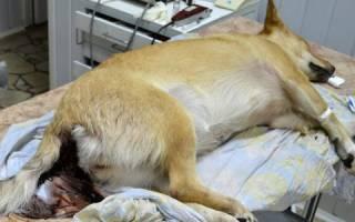 Геморрагический гастроэнтерит у собак: симптомы и лечение, причины возникновения, группы риска и пути передачи
