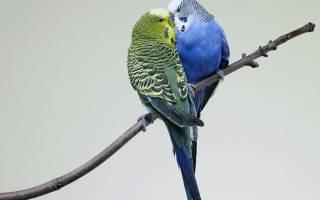 Попугай: как легко и быстро приручить к рукам, сколько времени потребуется и основные ошибки