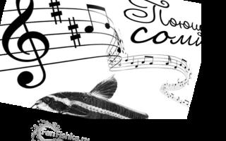 Платидорас полосатый: содержание и уход за аквариумной рыбкой, кормление и размножение сома